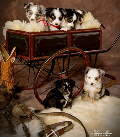 Mini/Toy Aussies are adorable pups ready for their forever homes.